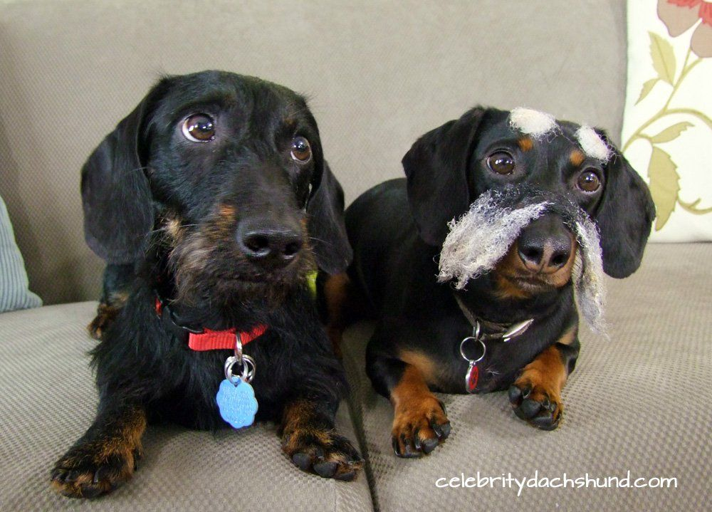 The Truth About Wire Haired Dachshunds Wire haired