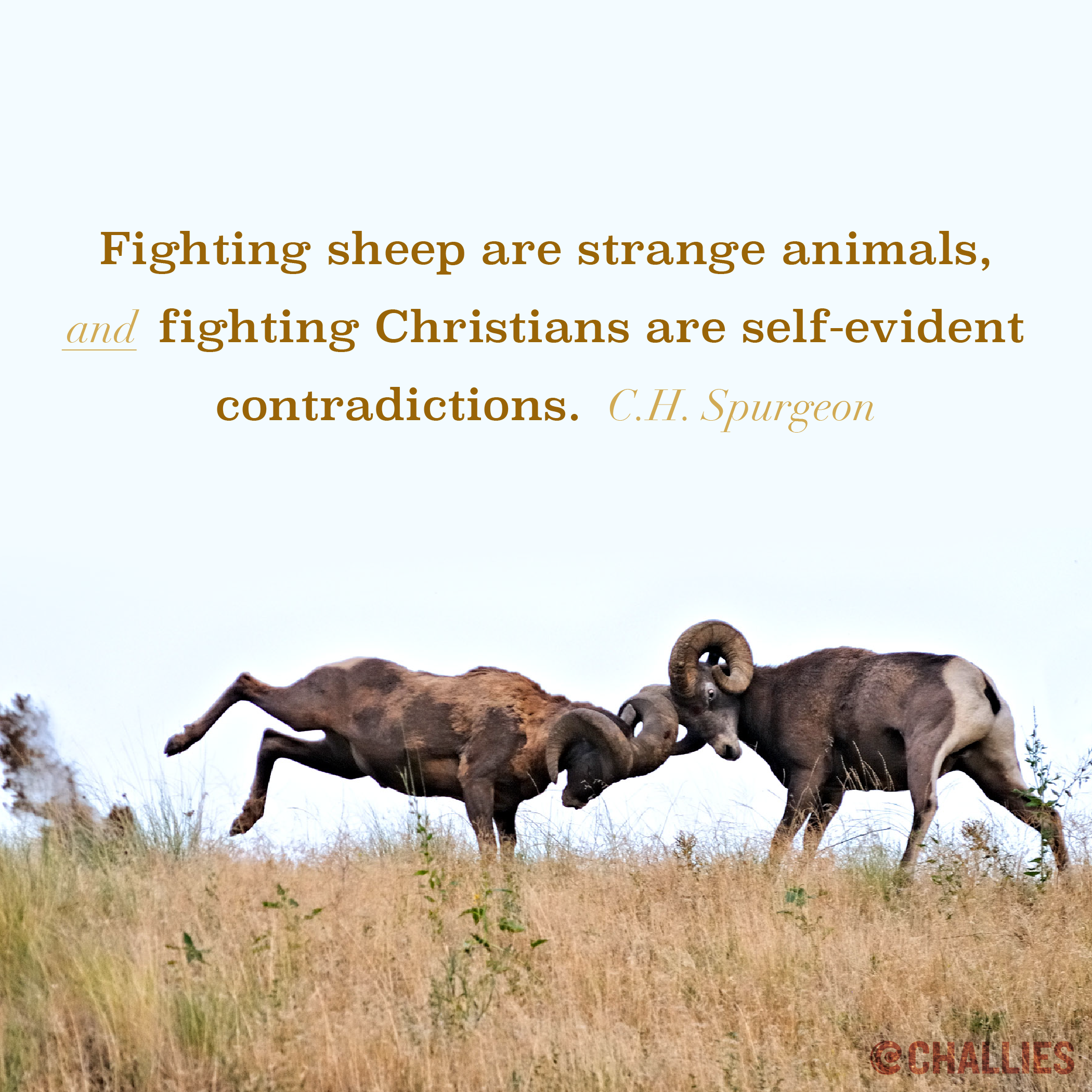 """""""Fighting sheep are strange animals, and fighting Christians are self-evident contradictions."""" (C.H. Spurgeon)"""