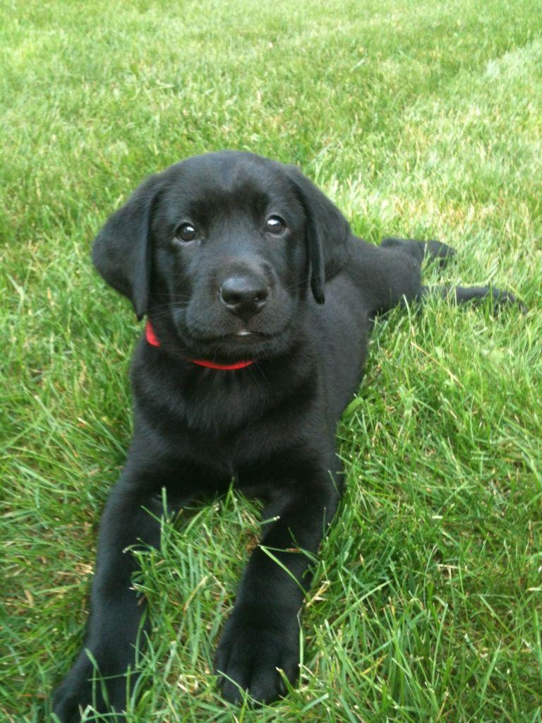 Black lab puppy! <3