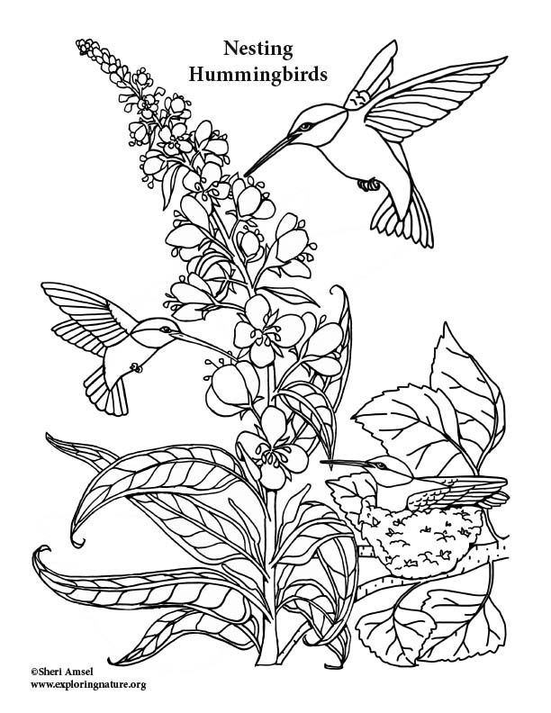 72 best images about Humming Birds Art & Coloring on ... |Hummingbird Nest Coloring Page