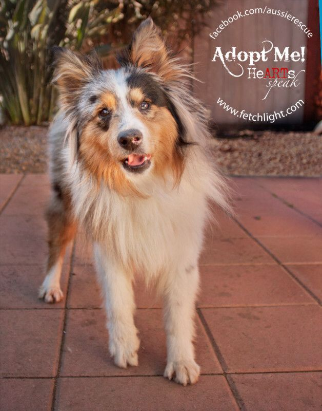 Mini Aussie Sheltie Dog Adoption Dogs Rescue Dogs
