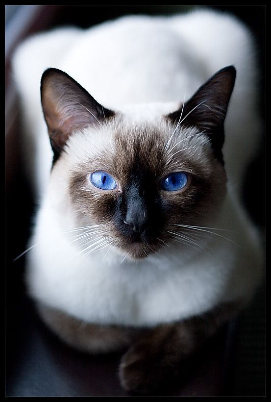 Beautiful Siamese Cat I Love The Eyes The Incensewoman Gorgeous Cats Beautiful Cats Cute Animals