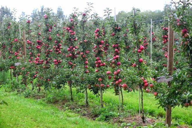 732ff08c5305f370c041258f7fe57d36 - Columnar Fruit Trees For Small Gardens