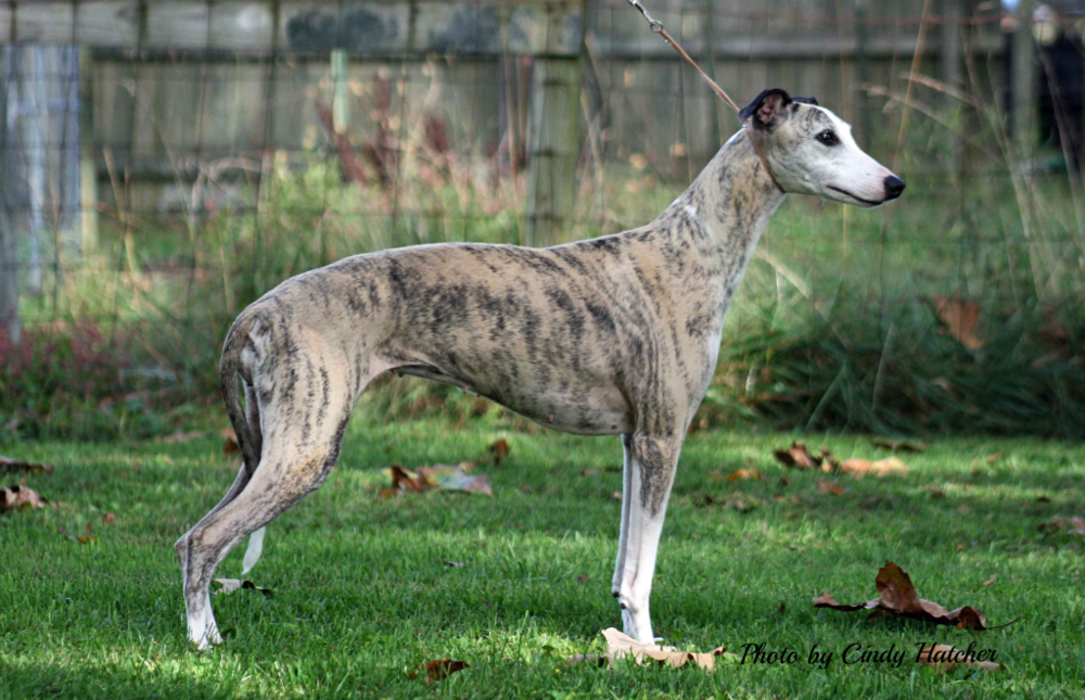 Mohr Whippets Whippet Whippet Puppy Dog Whippet Puppies Whippet Dog Breeds