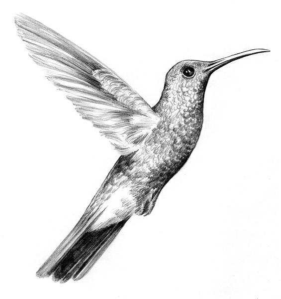 COLIBRI DIBUJO - Imagui | birds | Birds y Books