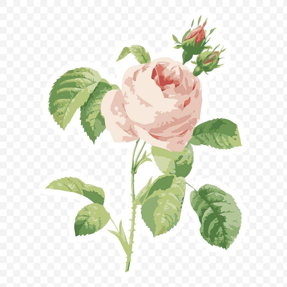 Vectorized Cabbage Rose Flower Sticker With White Border Design Element Free Image By Rawpixel Com Aew In 2020 Flower Illustration Flower Painting Design Element