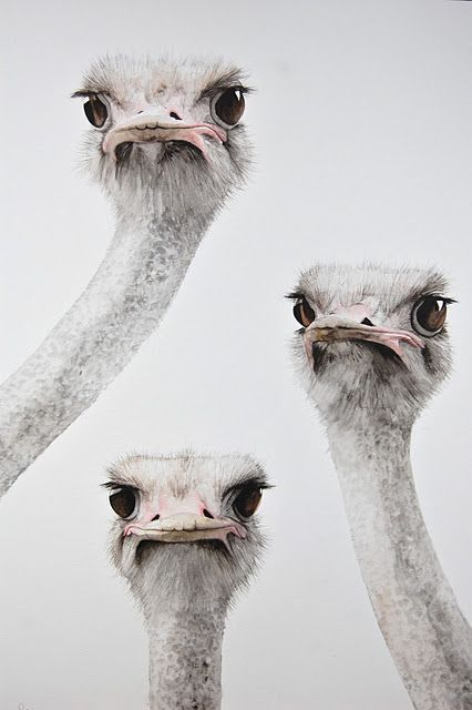 Disapproving Ostriches #bird