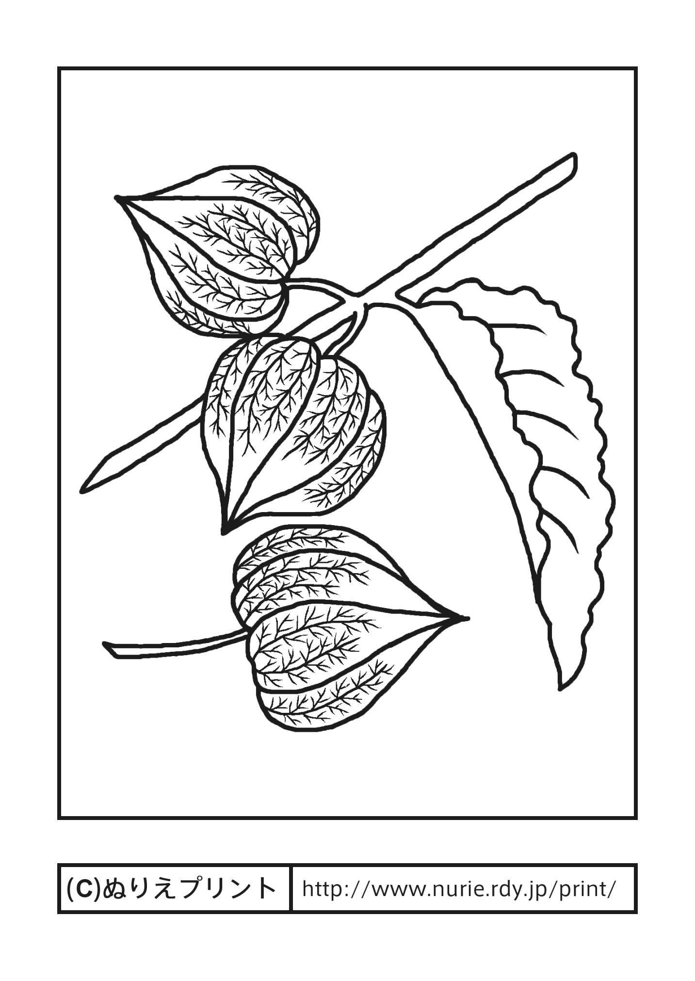 ホオズキ主線黒夏の花無料塗り絵イラストぬりえプリント A