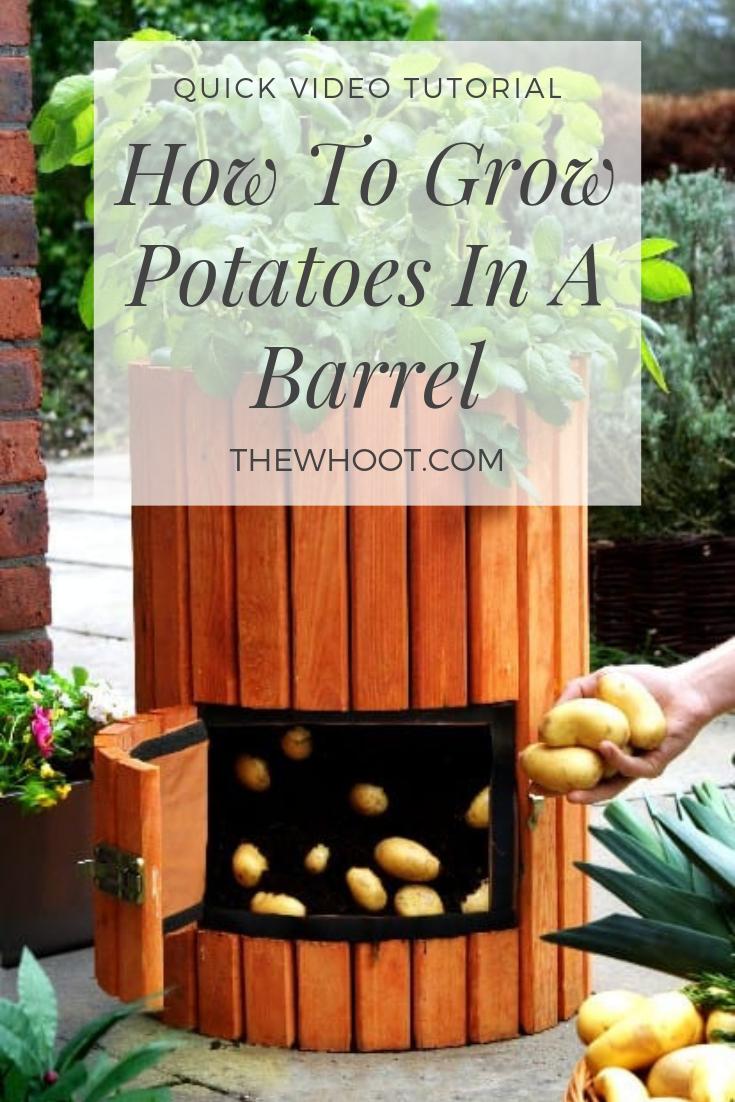 Grow Potatoes In A Barrel Youtube Video | Growing potatoes ...