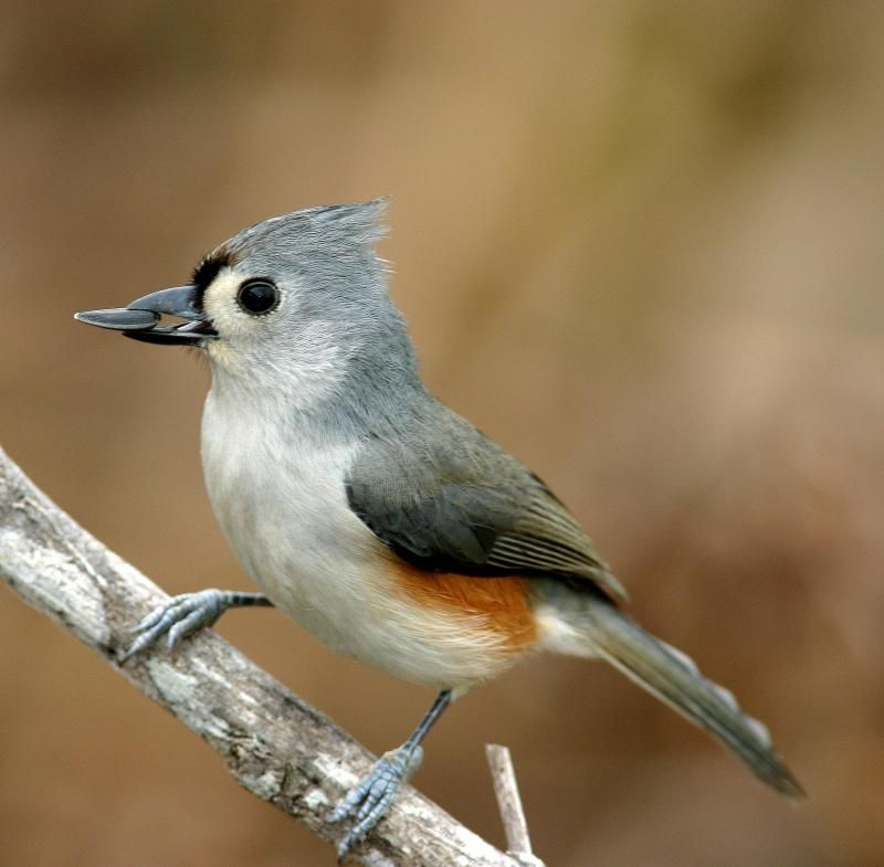 Tufted Titmouse. Such Curious Little Birds. They Usually