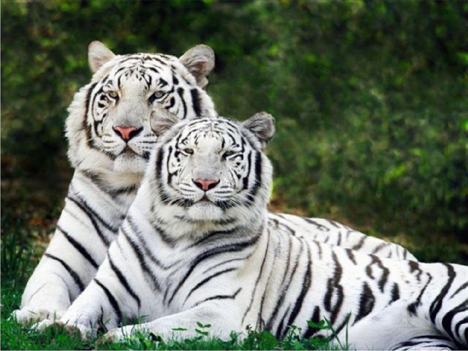 White Siberian Tiger Bing Images Wild Animals Siberian Tiger Tiger Wallpaper White Bengal Tiger