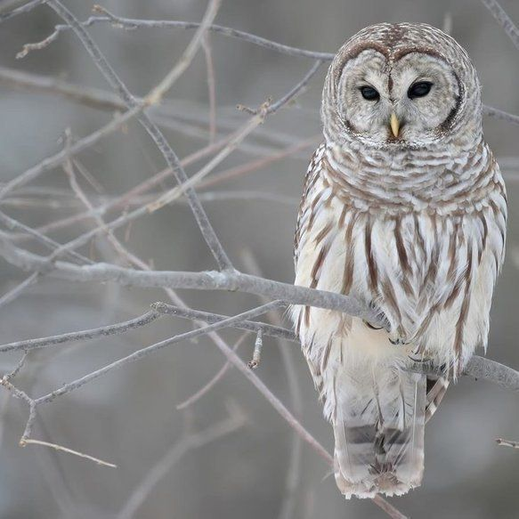 Owls and Their Unique Characteristics - #owl #bird #unique #mysterious