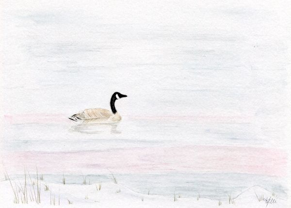 Canada Goose Floating in a Winter Pond