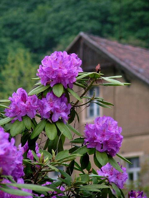 rhododendros