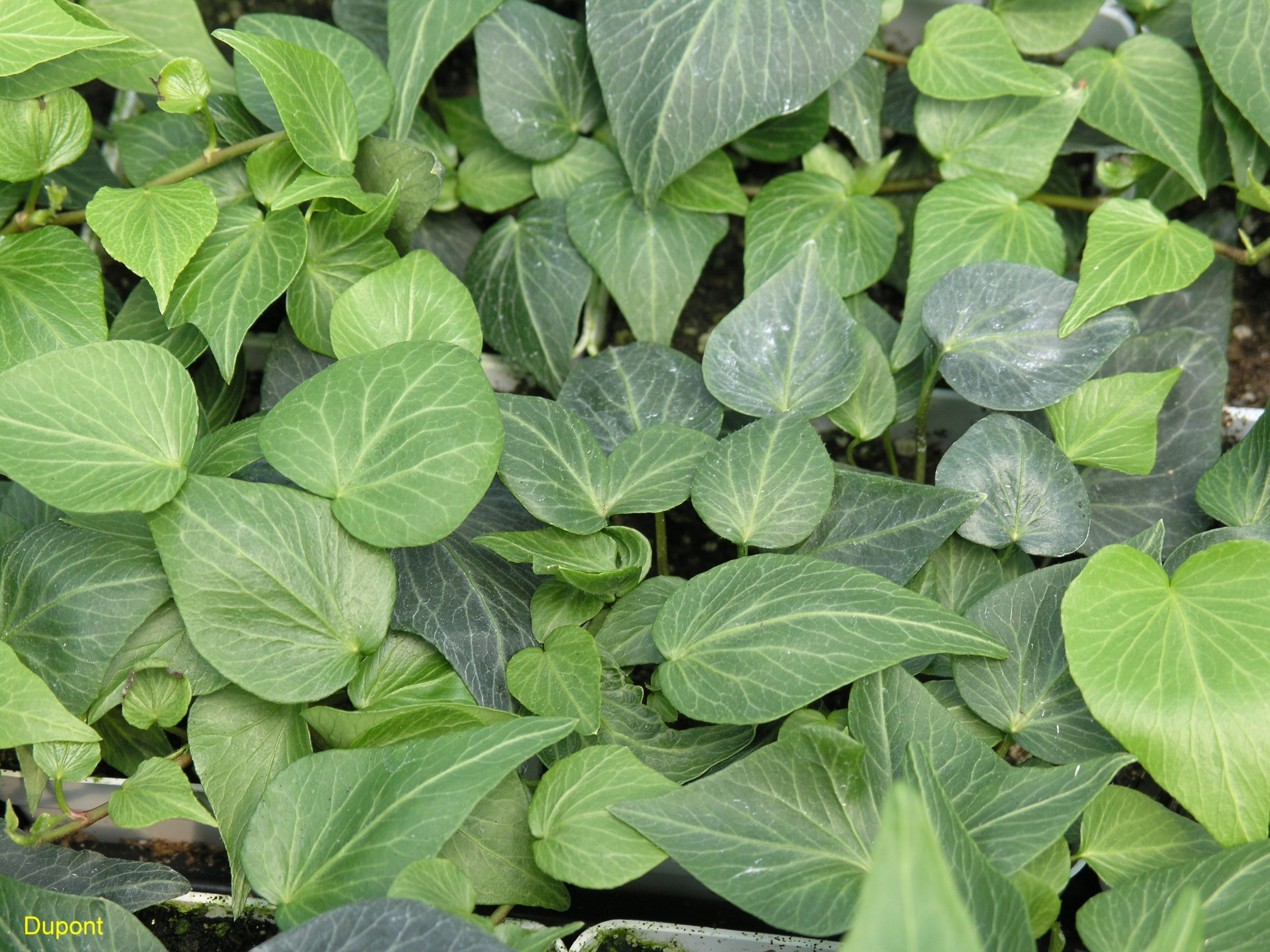 Hedera helix 'Teardrop Ivy'   Shade Loving Perennial ...