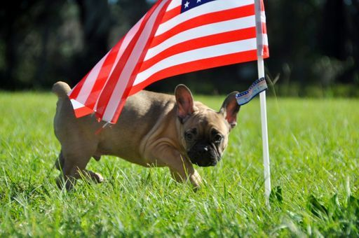 French Bulldog Puppy For Sale In Hastings Fl Adn 51114 On