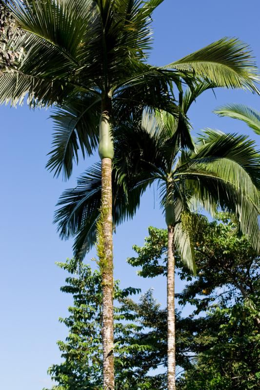 Alexandra Palm - Archontophoenix alexandrae | Australian ...