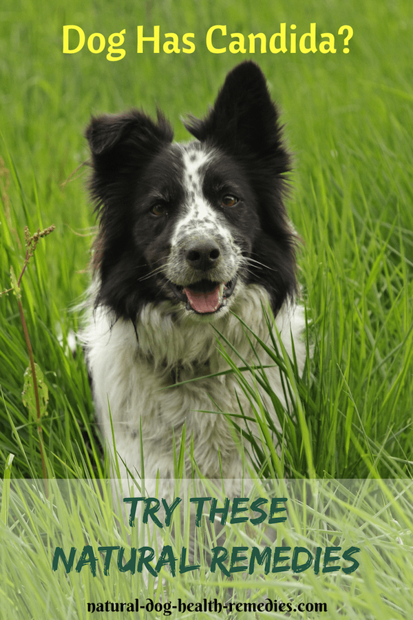 Natural Dog Candida Remedies | Dog Care/Recipes/Misc  | Yeast in