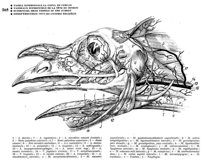 Ghetie S Atlas Of Avian Anatomy A Virtually Unknown