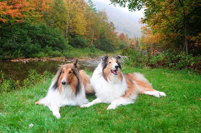 Our Rough Collie S Buddy And Zack At The Cabot Trail Nova Scotia