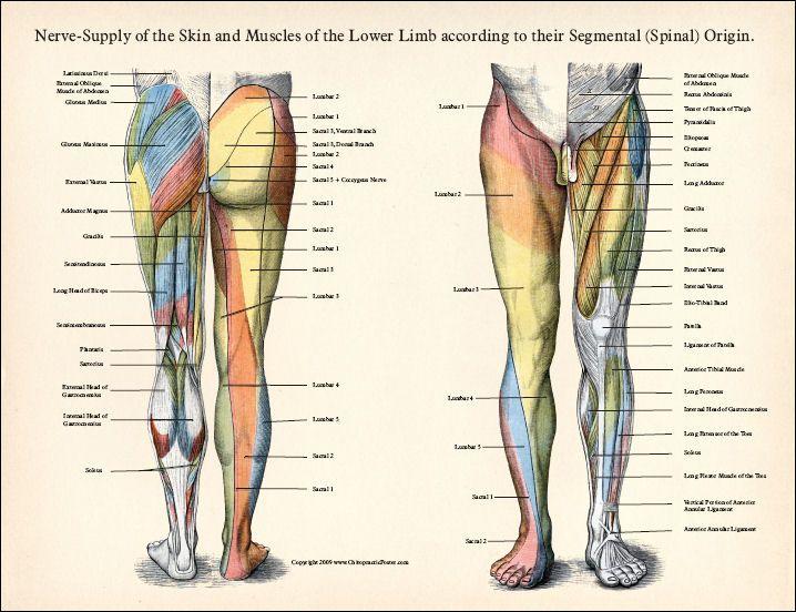 Pin By Vanessa On Anatomy Pinterest Nerve Anatomy Nerves In Leg