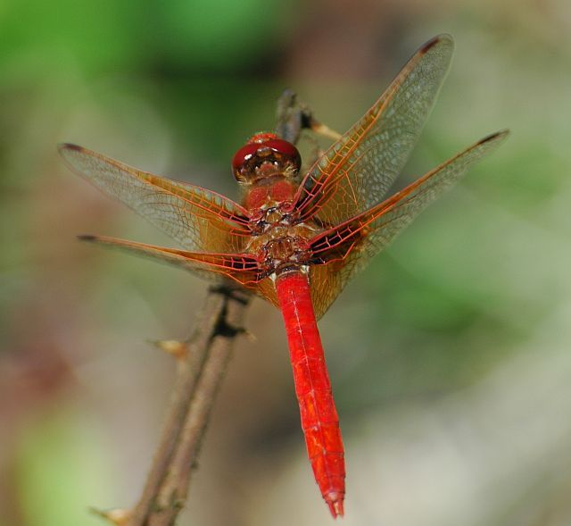 Red Meadowhawk Dragonfly - saw one in my backyard today. Brighter than I even imagined!
