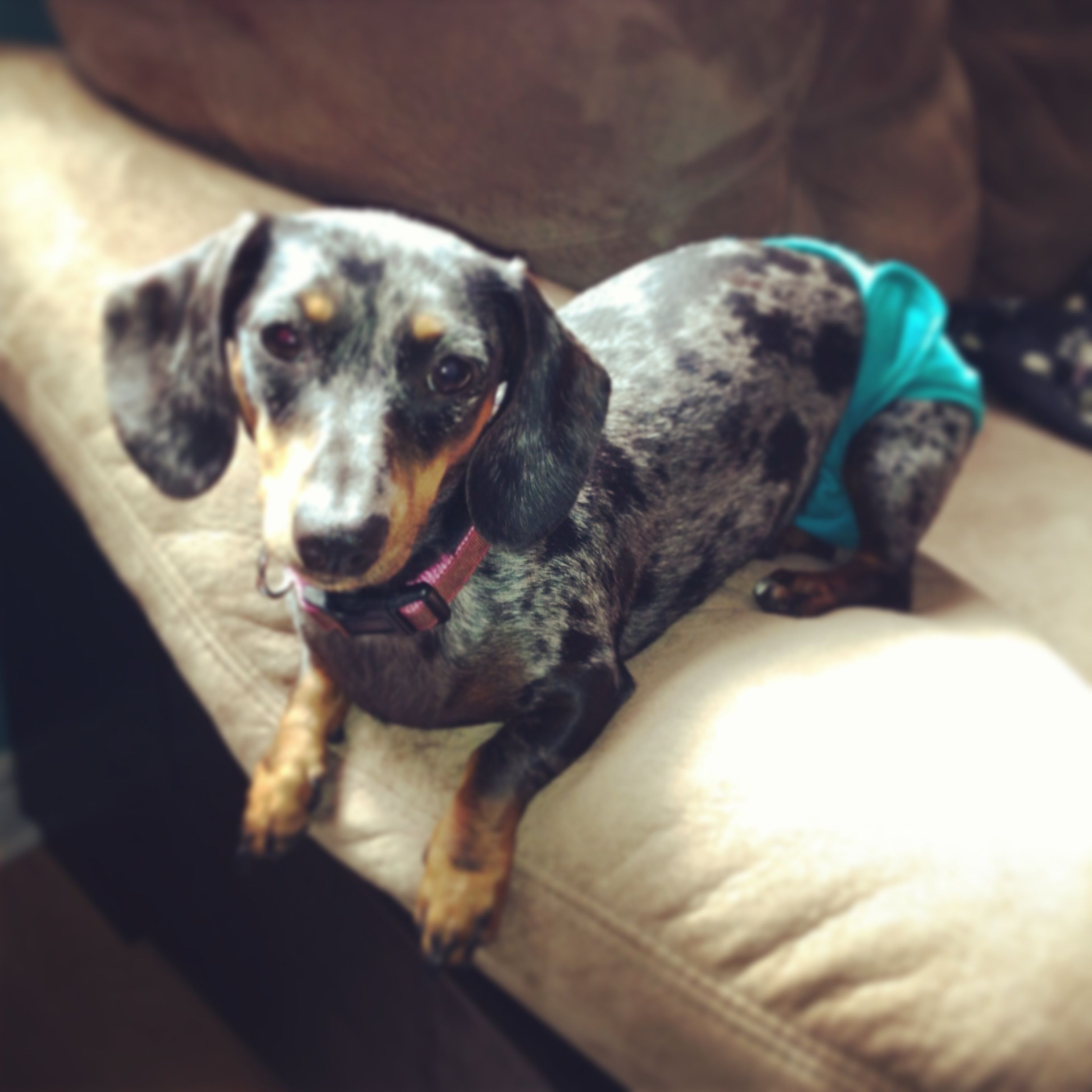 My Blue Dapple Dachshund Loki Dapple Dachshund Blue Dapple