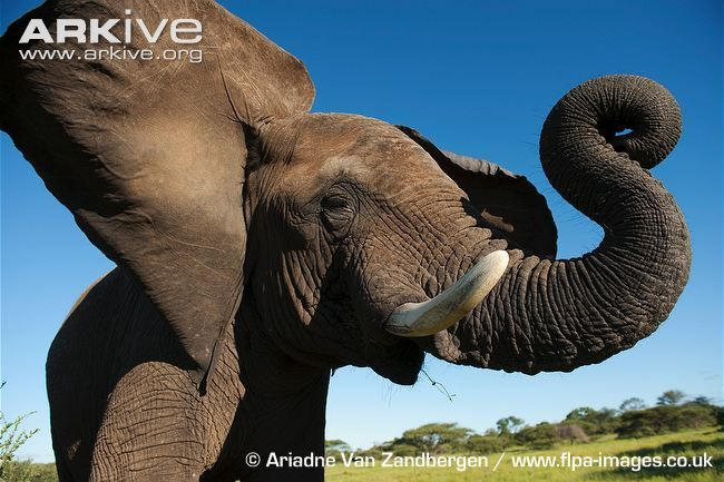 African Elephants Ears Flaping Elephant Elephants Photos