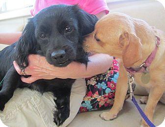 Oak Ridge Nj Dachshund Cocker Spaniel Mix Meet Jimbo A Dog For Adoption Doesn T Say Anything About His Activity Level But Dachshund Adoption Pet Adoption Pets