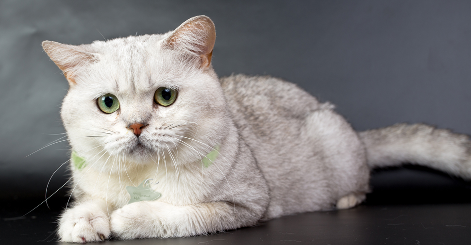 Pin by Mythical MaeMae on Cute White cat breeds, Cat