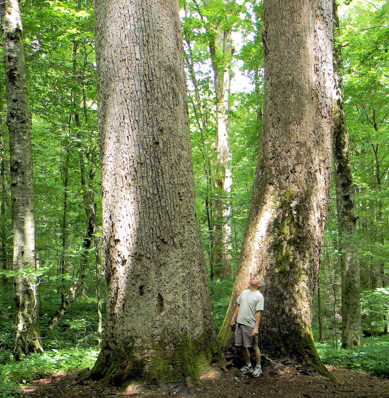 Huge Old Growth Tulip Poplar Trees In Joyce Kilmer Forest