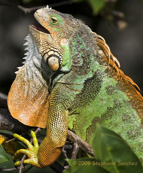 7335ef288cdc556639e158e0eb217ba7 - How To Get A Chameleon To Open Its Mouth