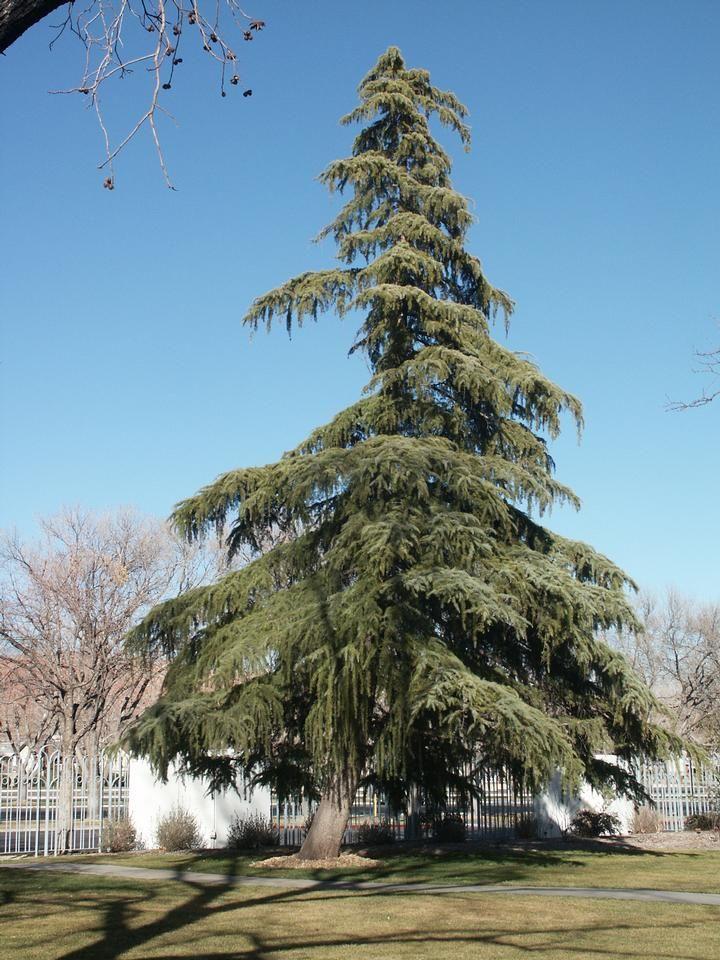 Deodar Cedar Tree Varieties ~ Deodar cedar scientific name cedrus deodara this