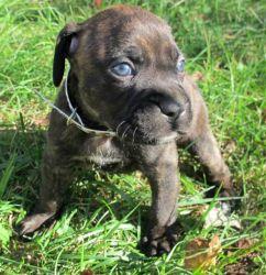 Adopt Marsha on Boxer mastiff mix, Dogs, Rescue dogs