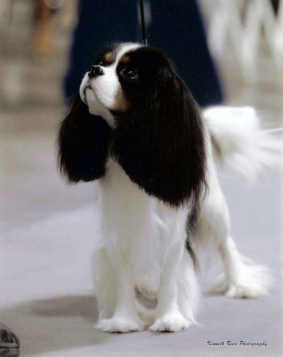 King Akc Ch Winfield S Cotton Royale Cavalier King Charles Dog King Charles Dog Cavalier King Charles