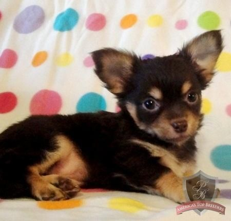 Marlei The Female Chihuahua Tennessee Chihuahua Breeders
