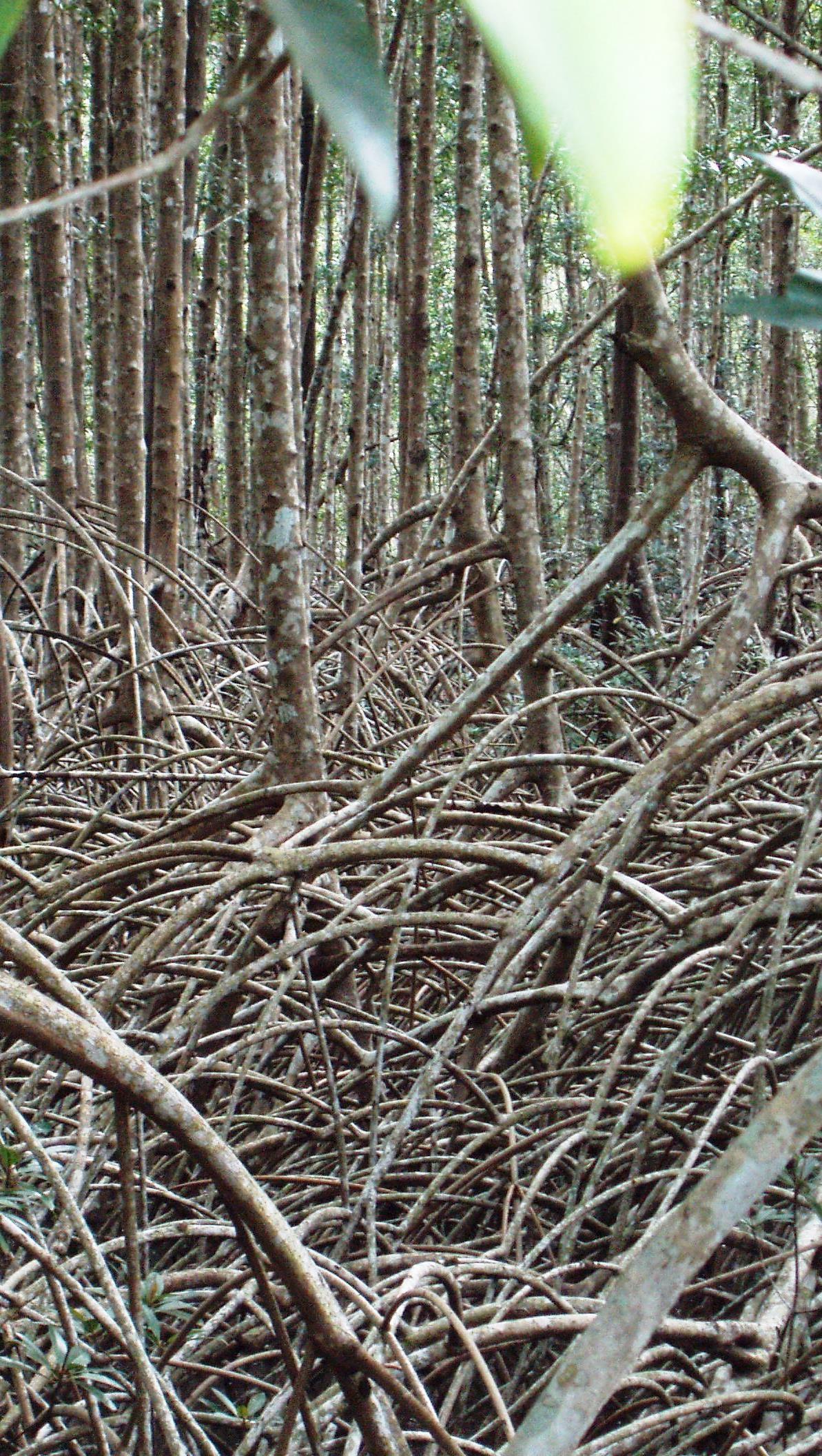 Mangroves in Bonthe District, Sierra Leone
