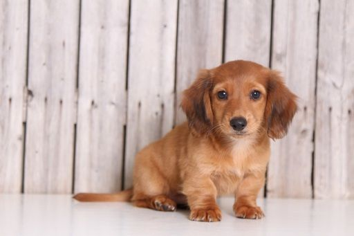 Dachshund Puppy For Sale In Mount Vernon Oh Adn 34295 On
