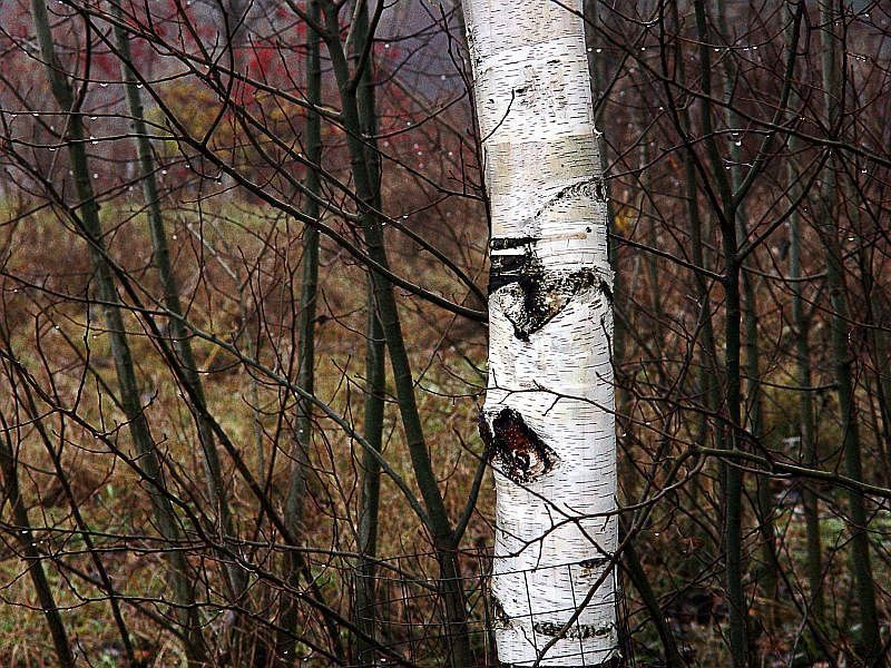 Single birch tree