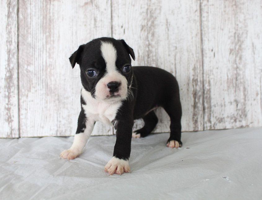Brixy Female Akc Boston Terrier Puppy For Sale Shipshewana