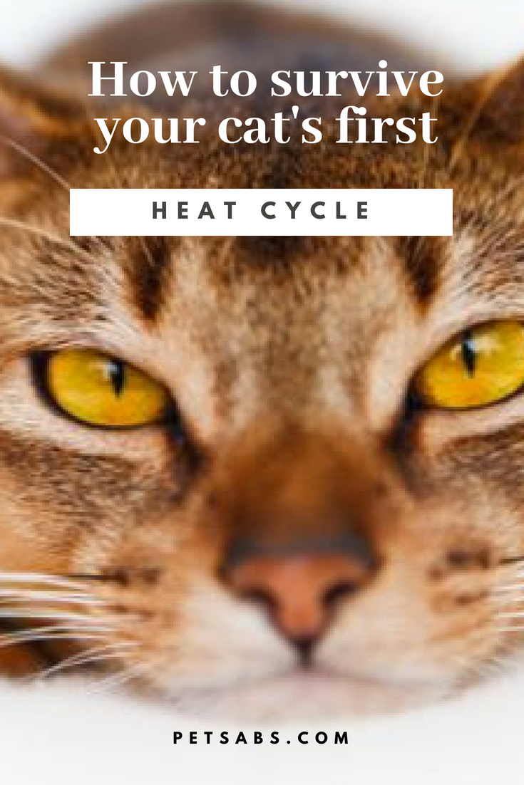 How To Survive Your Cat S First Heat Cycle Cats Cat In Heat Cat Parenting