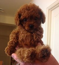 Our Baby Schnoodle Schnoodle Dog Love Puppies