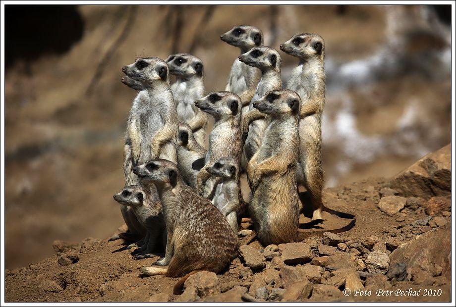 Http Files Wild Woorld Webnode Cz 200000005 0ad7d0b52b Surikata 140 Jpg 動物