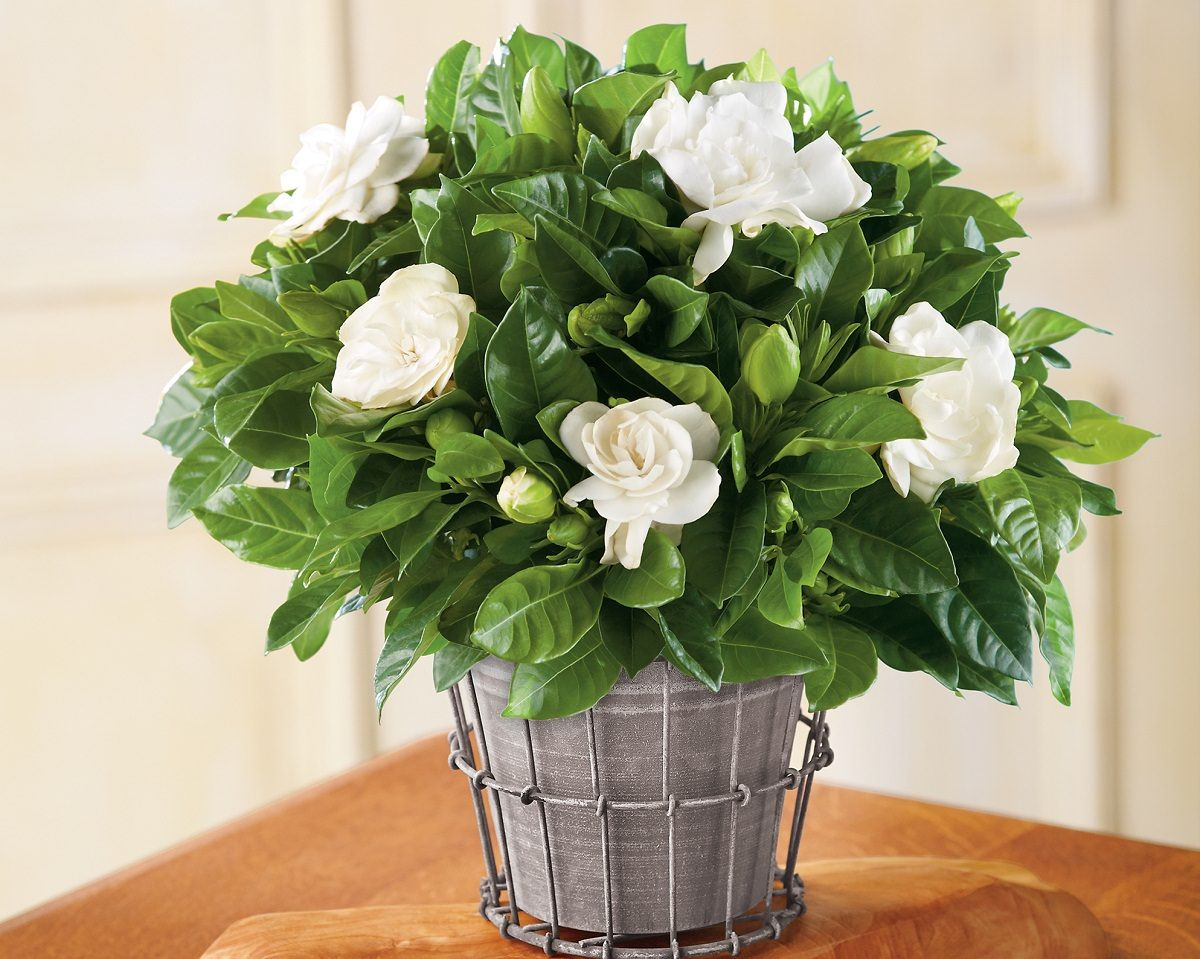 Growing gardenia in pot gardenias gardens and plants