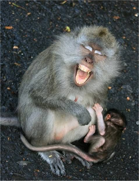 adorable, animals laughing, cat, cuteness, donkey, fox, funny, haha, laughing, lizard, lol, monkey, orangutan, smiling