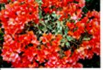 Orange Ice Bougainvilla