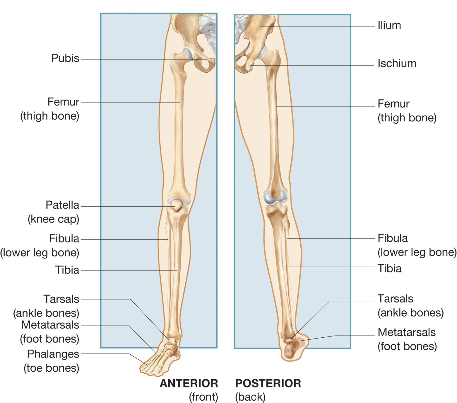 Image result for lower extremities anatomy | human anatomy ...
