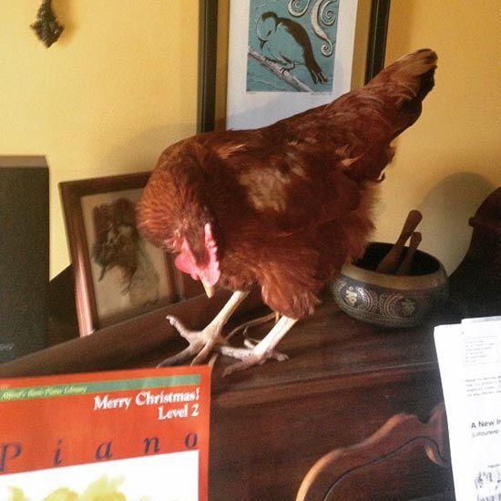 Welcome to Chicken Scratch - Chicken Scratch Blog - GRIT Magazine