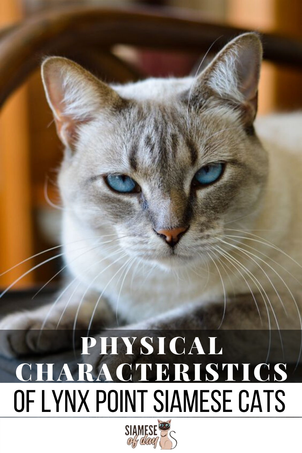 All About the Lynx Point Siamese Cats Siamese cats, Cats