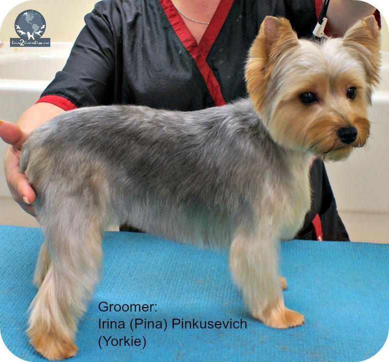 Image Result For Silky Terrier Short Haircut Puppy Love Yorkie